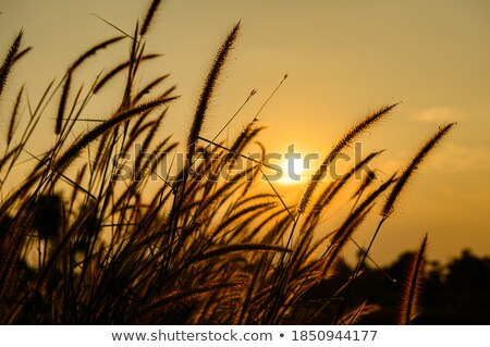 silhouette flower foxtail weed Stock photo © sweetcrisis