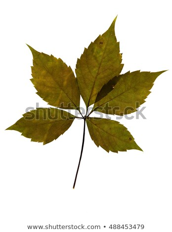 Green virginia creeper leaves on white background Stock photo © BSANI