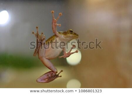 tree frog on glass stock photo © macropixel