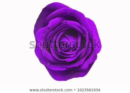 púrpura · mojado · aumentó · resumen · hermosa · macro - foto stock © prill