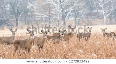 deer herd Stock photo © guffoto