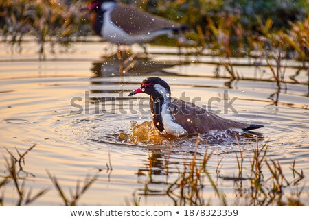 Lapwing taking a bath in a lake Stock photo © michaklootwijk