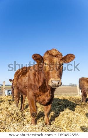 Vriendelijk vee stro blauwe hemel koe boerderij Stockfoto © meinzahn
