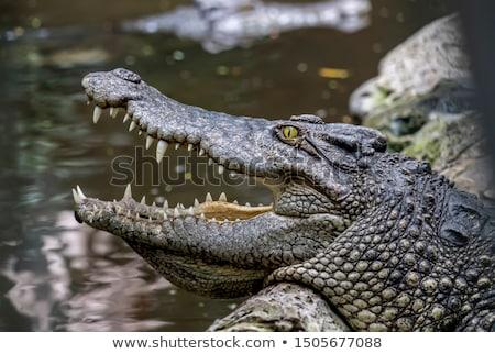 Krokodil portré kicsi afrikai vadvilág Stock fotó © bradleyvdw