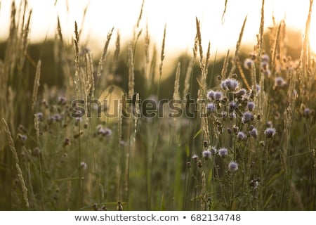 Tall Grass Prairie Stock photo © rhamm