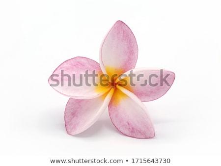 roze · bloem · geïsoleerd · natuur · achtergrond - stockfoto © stocker