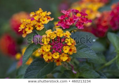 желтый · кустарник · изображение · природы · цвета · ярко - Сток-фото © stoonn
