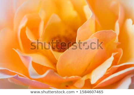 Narancs rózsa makró közelkép rózsaszirmok virág Stock fotó © kubais