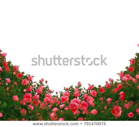 庭園 · バラ · 国境 · ピンク · ぼけ味 - ストックフォト © neirfy