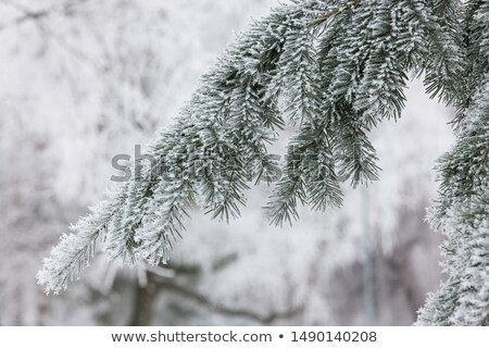 Pine Needles Covered With Snow Stock fotó © Juhku