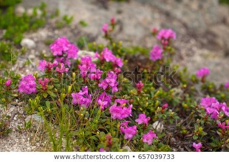 rosa · prímula · flores · ensolarado · primavera - foto stock © kotenko