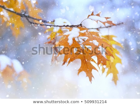 First Snow On Leaves Stock photo © cosma