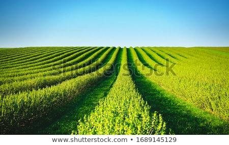 tarwe · velden · blauwe · hemel · voorjaar · landbouw · groene - stockfoto © hraska