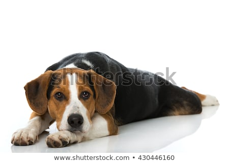 Stock photo: mixed breed  brown dog lying down in a white backgound studio