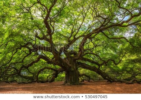 öreg tölgy sziluett növény dekoráció vektor Stock fotó © perysty