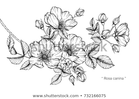 Rosa canina hand drawn Stock photo © frescomovie