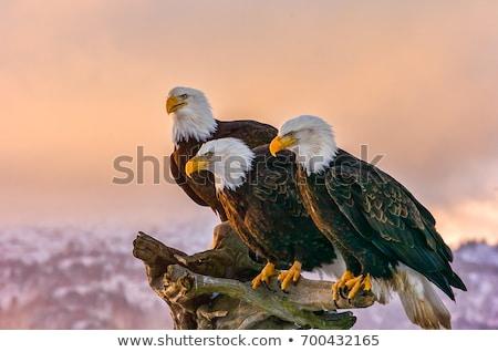 Stockfoto: Noorden · amerikaanse · kaal · adelaar · mooie · oog