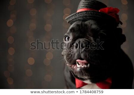 Assis français bulldog haletant regarder côté Photo stock © feedough