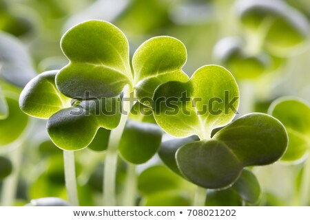 Closeup of five days old broccoli sprouts Stock photo © madeleine_steinbach