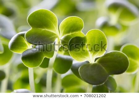 beş · eski · brokoli · gıda · yaprak - stok fotoğraf © madeleine_steinbach