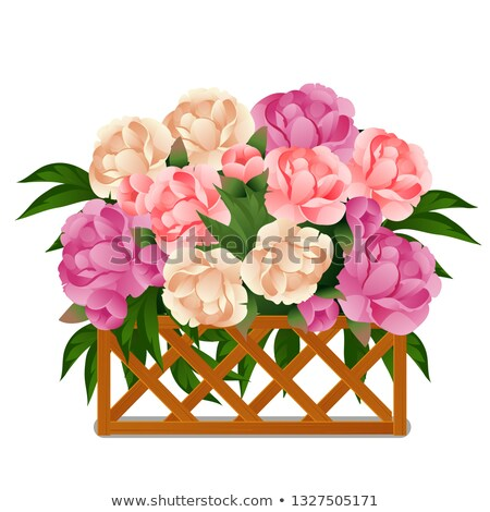 Flowering peonies behind a wooden lattice fence isolated on white background. Vector cartoon close-u Stock photo © Lady-Luck