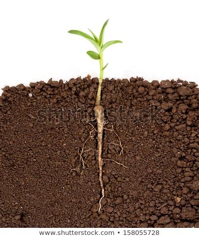 Plant growing from underground Stock photo © colematt