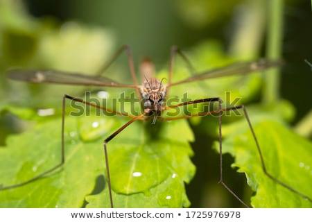 Marsh Fly  Stock photo © brm1949