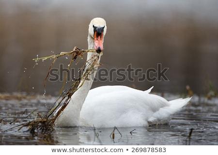 eating swan Stock photo © sahua