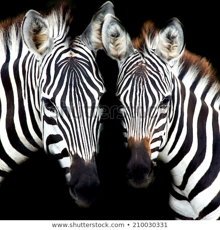 Africaine sauvage zèbre Kenya eau printemps Photo stock © Anna_Om
