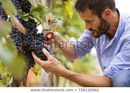 homem · trabalhando · vinha · cara · vinho · fruto - foto stock © photography33