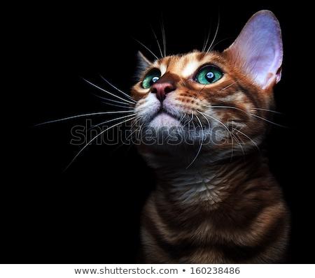 Mooie kat groene ogen geïsoleerd witte portret Stockfoto © jonnysek