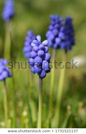 hyacinth 04 Stock photo © LianeM