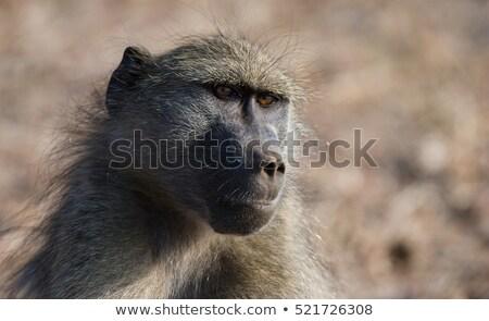 Savanna Baboon (Papio cynocephalus ursinus) Stock photo © dirkr