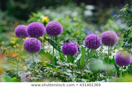 allium giganteum giant onion stock photo © tainasohlman