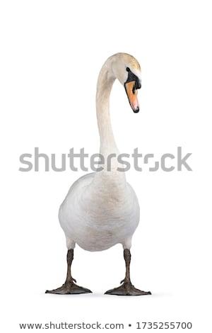 白 ミュート 白鳥 スイミング 水 自然 ストックフォト © ivonnewierink
