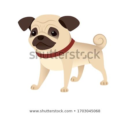Adorable pug Stock photo © creisinger