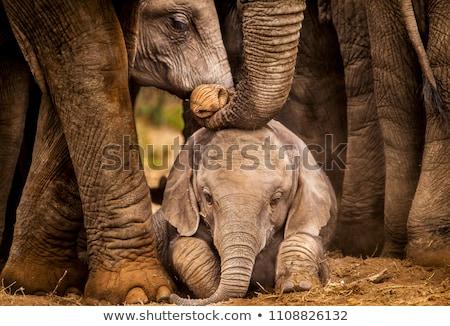 baba · elefánt · arc · tehén · anya · fekete - stock fotó © wildnerdpix