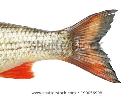 рыбы рассказ изолированный белый Сток-фото © FOKA