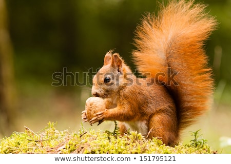 Funny squirrel in garden Stock photo © Anterovium