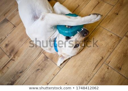 Yellow labrador dog Stock photo © wavebreak_media