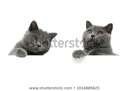 Klein grijs brits kat geïsoleerd witte Stockfoto © NikiLitov