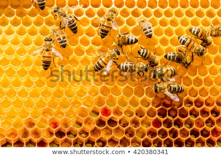 Honeycomb with bees stock photo © jordanrusev