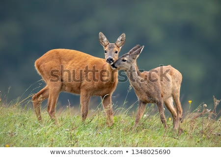 young roe deer  Stock photo © OleksandrO