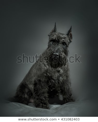 Miniature Schnauzer sitting and looking up in a gray studio back Stock photo © vauvau