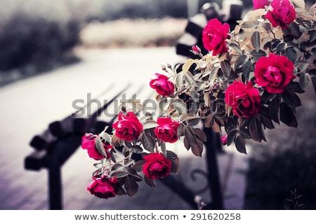 Botanikus rózsa kert stock fotó virágok Stock fotó © nalinratphi