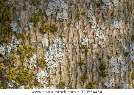 Nice tree bark with moss and lichen texture Stock photo © Valeriy