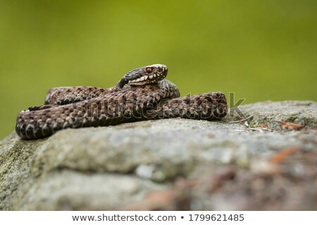 toxic european snake on stone Stock photo © taviphoto