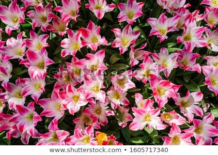 Close-up of Lily flowers from Keukenhof Stock photo © Arsgera