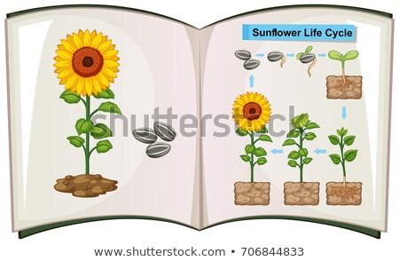 Foto stock: Livro · diagrama · girassol · vida · ciclo