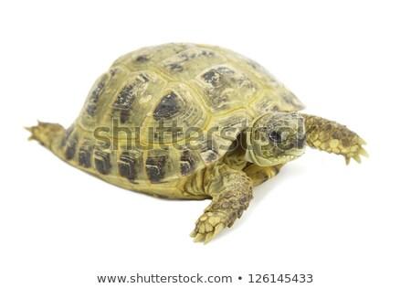 a huge tortoise resting in the park by the pond stock photo © galitskaya